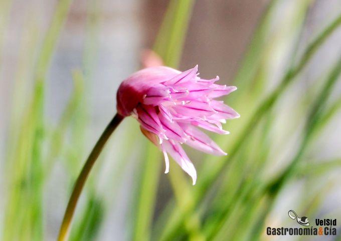 Flor de cebollino