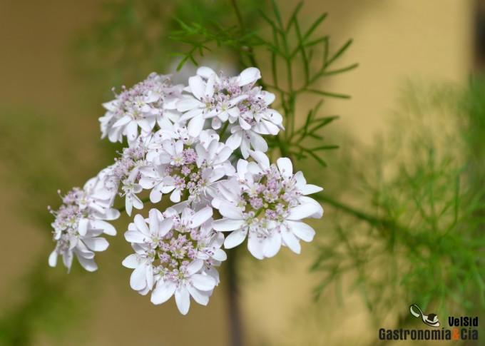 Flores de cilantro