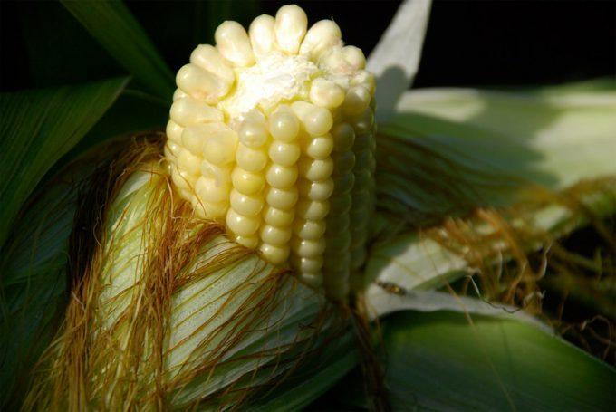 Genoma del maíz B73