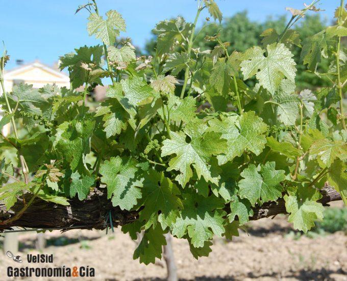 Producción española de vino