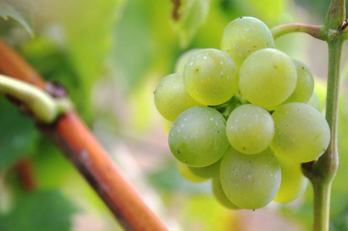 Cambio climático en la vitcultura