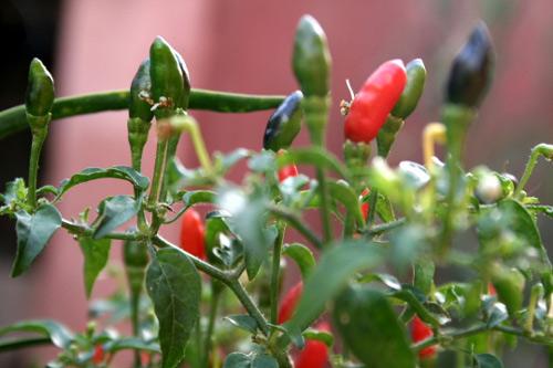 Piri-piri, un chile muy picante | Gastronomía & Cía