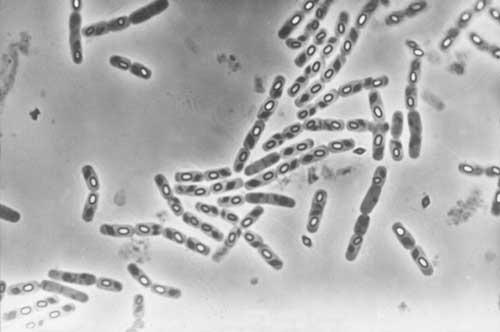 bacillus_thuringiensis.jpg