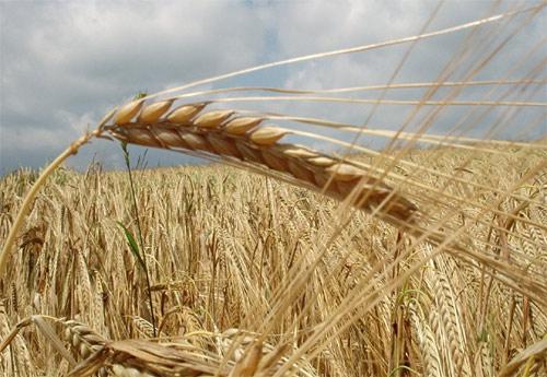 biocombustibles_alimentos_s.jpg