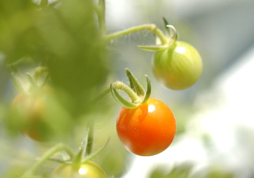 tomates_prolongar_vida.jpg