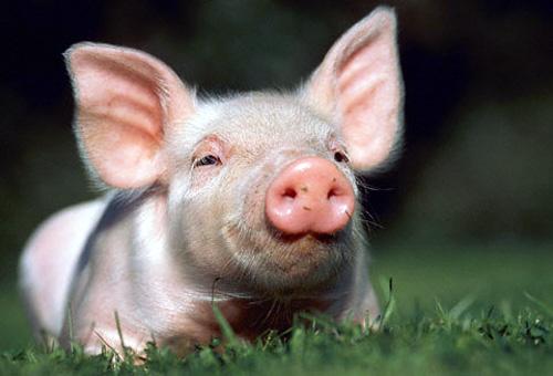 Salmonella cerdos españoles