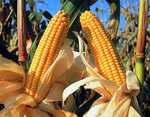 Maiz transgénico Mexico