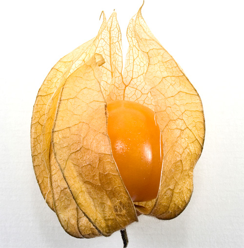 physalis alquequenje