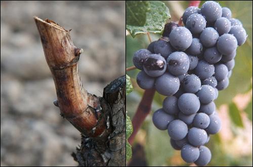 Clonar viñas