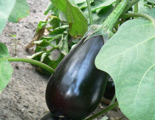 Berenjenas modificadas geneticamente