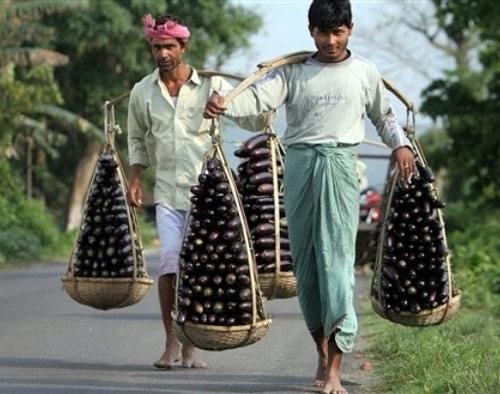 Cultivo berenjenas transgénicas India