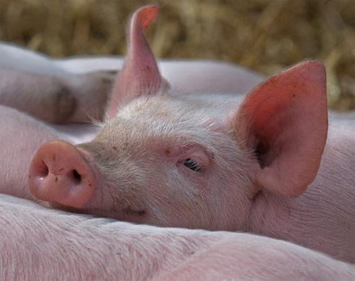 Antibióticos en la carne de cerdo