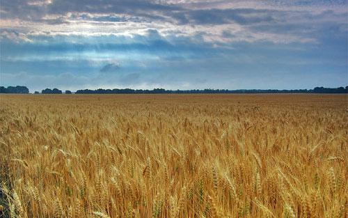 Los transgénicos garantizan seguridad alimentaria y ambiental