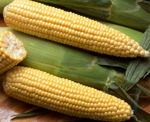 Aumentan los cultivos transgénicos en España