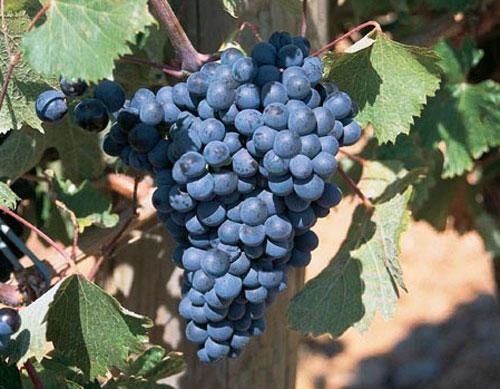 Vinos Preto