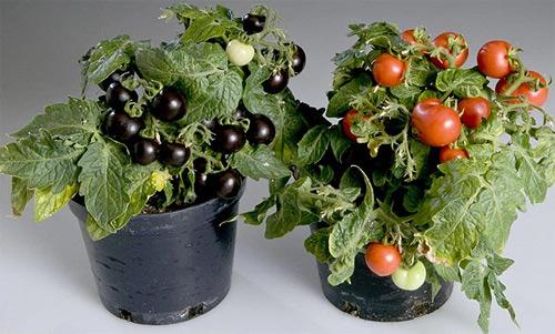 Tomates lilas