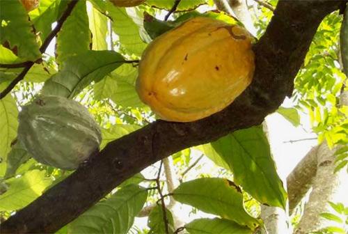 Genoma cacao