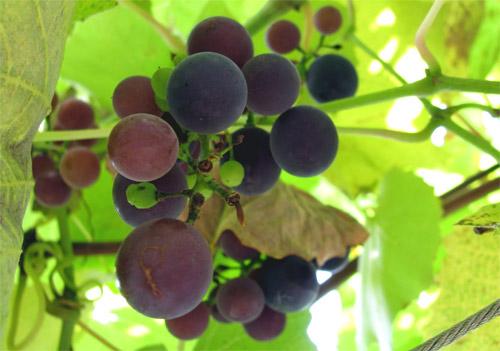Uvas y leucemia