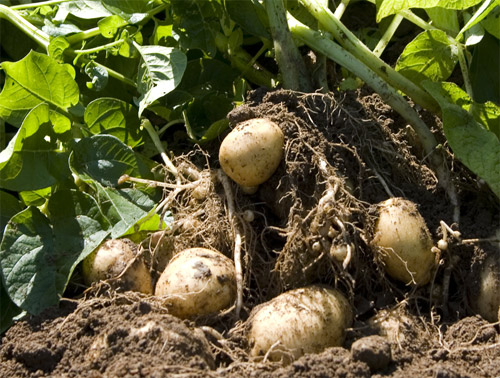Patatas Amflora