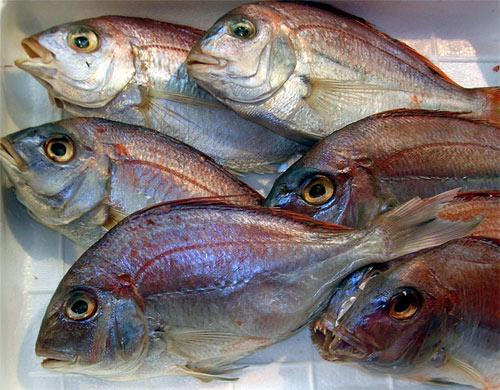peces transgénicos