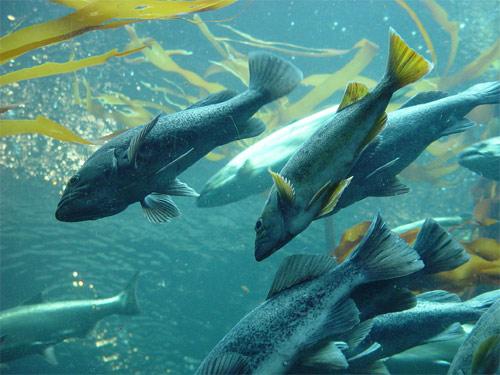 Salmon transgénico
