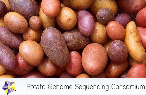 Mapa genético Solanum tuberosum