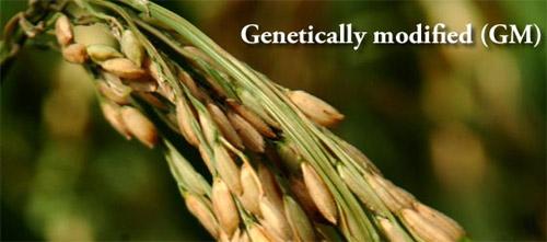 Erroz modificado genéticamente