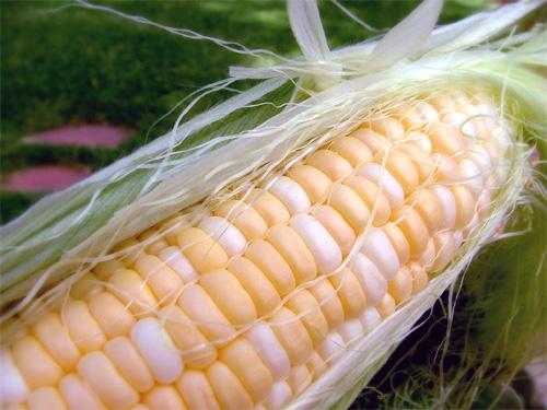 Maiz transgénico de Syngenta