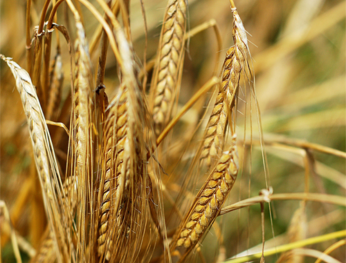 Crecimiento de los cultivos transgénicos
