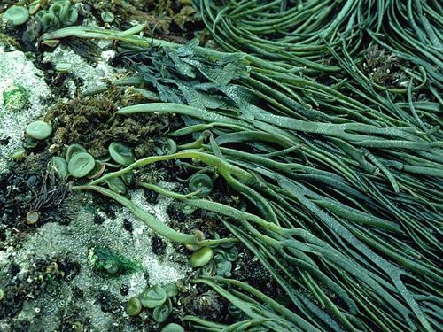 Himanthalia elongata