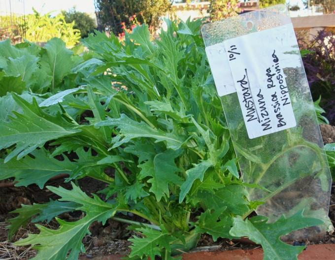 Brassica rapa nipposinica