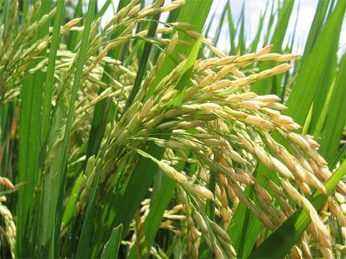 Producción arroz en Brasil