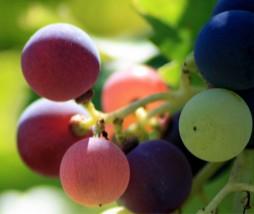 Modificación genética en el mundo del vino