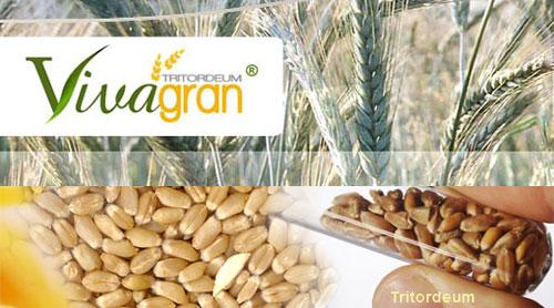 Nuevo cereal de trigo duro y cebada