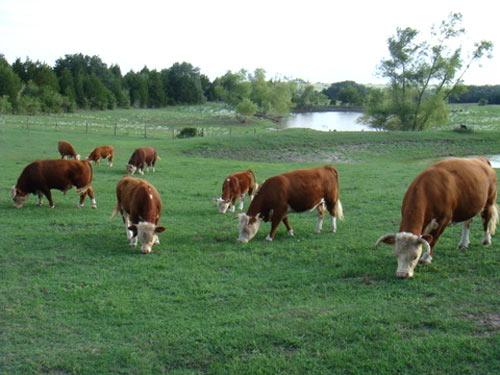 Vacas enanas