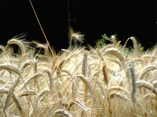 Producción mundial de trigo