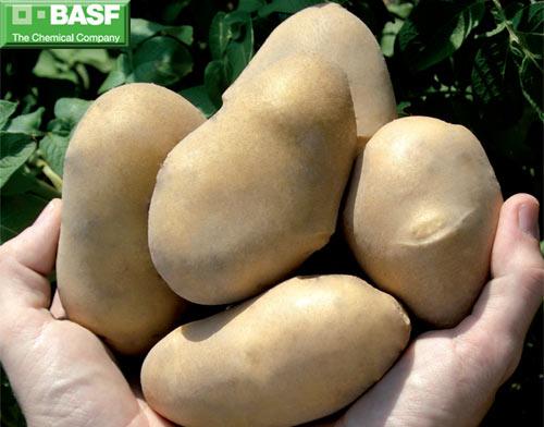 Patatas transgénicas