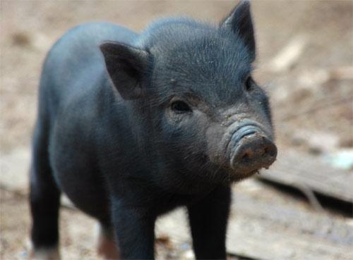 Clonación cerdos