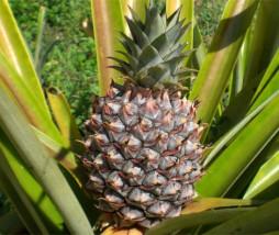 Ananas de Costa Rica