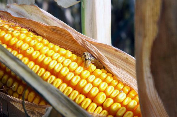 Semillas modificadas genéticamente