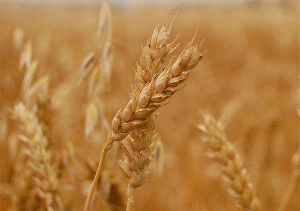 Nuevos cultivos mejorados genéticamente