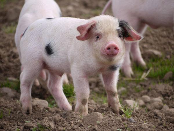 Sector porcino español