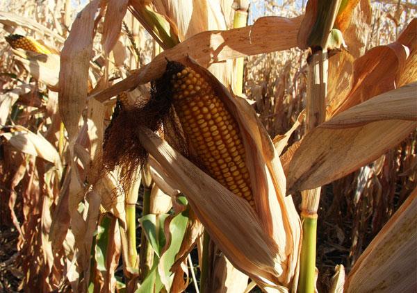 Investigación maíz transgénico