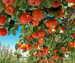 híbrido de pera que parece una manzana