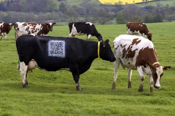 Vacas frisonas del Reino Unido