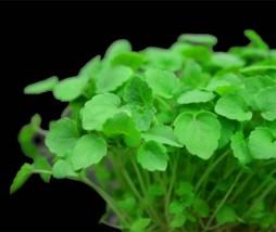 Microvegetales más nutritivos