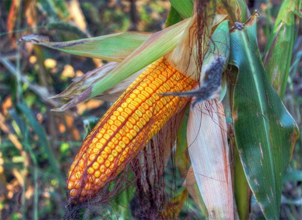 Peligrosidad de los alimentos transgénicos