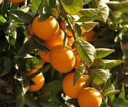 Mercado de la naranja 2012