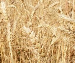 Genoma del trigo