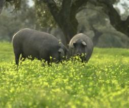 Cerdo ibérico puro de bellota